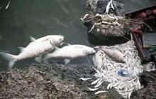 Cá chết ở hồ Tây: Có thể do biến đổi khí hậu