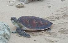 Lý Sơn: Rùa biển khủng quý hiếm chết vì mắc lưới ngư dân