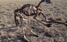 Úc: Hạn hán nặng, chuột túi chết trơ xương