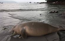 Hơn 10 ngày, 2 cá thể Đu-gông chết tại Côn Đảo