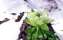 Thiên sơn tuyết liên 7 năm mới nở hoa: 100 triệu đồng/kg