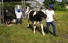 27 thí sinh tham gia vòng chung kết hoa hậu bò sữa tại Củ Chi
