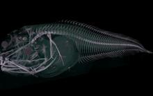 Phát hiện 3 loài cá ma bị tan chảy khi đưa lên mặt biển