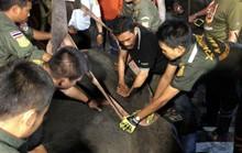 Thái Lan: Để voi bị điện giật chết khi xin ăn, chủ bị bắt