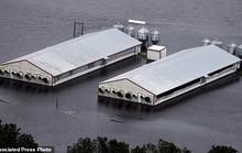 Mỹ: Rắn độc xuất hiện trong nước lũ sau bão
