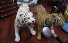 Bị tạm giam vì chứa 2 bộ da hổ quý hiếm nhồi bông
