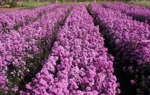 Vườn hoa thạch thảo đang gây sốt ở Bà Rịa - Vũng Tàu