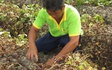 Kẻ gian phun thuốc diệt cỏ khiến khoai lang chết sạch