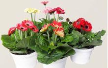Chưng hoa gì vừa đẹp vừa tốt cho sức khỏe