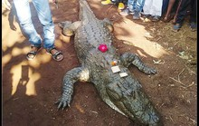 Cá sấu 130 tuổi chết, cả làng bỏ ăn, khóc ròng
