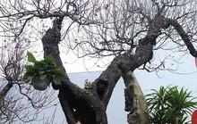 Bất ngờ với cây đào ven đường, gốc mục ruỗng có giá đến 120 triệu đồng