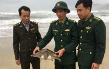 Thả một cá thể rùa biển quý hiếm về môi trường tự nhiên