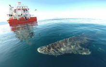 Lão cá mập sống tới 272 năm