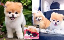 Chú chó Boo đáng yêu nhất thế giới qua đời