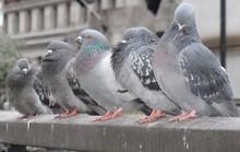 Chim bồ câu bậy trong bệnh viện, 2 bệnh nhân thiệt mạng