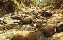 Úc: Hạn hán, ngựa chết la liệt trong vũng nước cạn khô