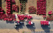 Sắc hoa giấy phủ đỏ tuyến đường dài ở Bến Tre