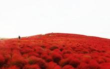 Cỏ đổi màu nhuộm đỏ một triền đồi