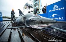 Cá mập trắng khổng lồ chết thảm với 2 cú cắn vào đầu