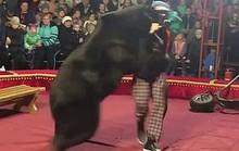 Gấu tấn công nghệ sĩ xiếc trên sân khấu không rào chắn
