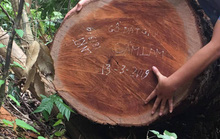 Để lâm tặc phá rừng lim, nguyên Trạm trưởng Trạm bảo vệ rừng Khe Đen bị khởi tố