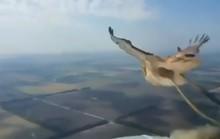 Chim tan xác sau khi lao vào kính chắn gió máy bay