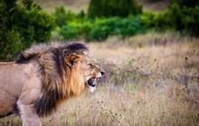 Đàn sư tử bị giết hại tàn ác để làm ma thuật ở Nam Phi