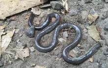 Loài rắn mù biến mất cách đây 172 năm bất ngờ tái xuất