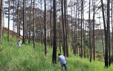 Cử 2 Phó bí thư tỉnh ủy ra tay dẹp nạn phá rừng thông