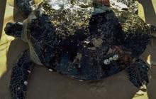 Rùa biển khủng có trong sách đỏ dính lưới ngư dân