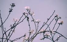 Đến Đà Lạt ngắm những bông hoa tuyết trắng