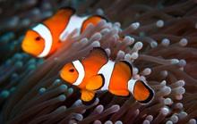 Quan hệ tình dục kén chọn khiến cá Nemo cạn đường sống