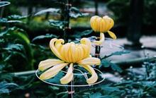 Rủ nhau ngắm hoa anh đào, nhiều người nhầm tưởng về quốc hoa Nhật Bản
