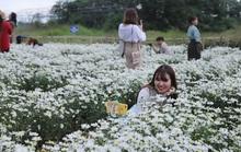 Vườn cúc họa mi giữa lòng TP Đà Nẵng