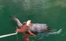 Đại bàng tử chiến bạch tuộc, được ngư dân kéo về từ cõi chết