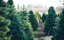 Cây thông thật giá tiền triệu đắt khách mùa Noel