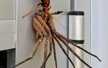 Ong bắp cày kéo lê nhện khổng lồ, trăn khủng quấn chân trẻ 4 tuổi