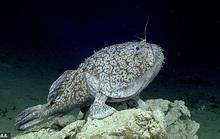 Cá có chân ở vịnh Mexico
