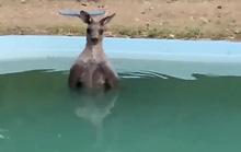 Bị bà hoả truy đuổi, kangaroo nhảy xuống hồ bơi ngâm mình
