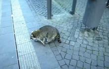 Gấu mèo say xỉn lang thang trên đường phố nước Đức