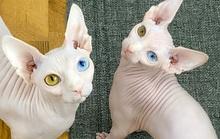 Cặp mèo với 2 màu mắt khác nhau gây bão mạng xã hội
