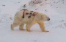Chú gấu Bắc cực và dòng ký tự T-34 trên thân
