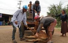 Cấp bò không đứng được cho dân nghèo: Do mới tách đàn, dân dắt không đúng cách (!?)