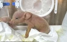 Heo lai khỉ đầu tiên trên thế giới chào đời ở Trung Quốc