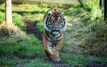 Hổ Sumatra đực giết con cái ngay lần hẹn hò đầu tiên