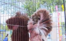 Ngắm những chú chim bồ câu giá trăm triệu khoe dáng