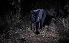Loạt ảnh đẹp tuyệt của báo đen cực hiếm ở Châu Phi