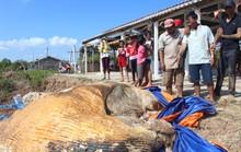 Dân kéo đến xem xác cá voi khủng trôi vào bờ, đang phân hủy nặng
