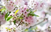 Thủ đô hoa anh đào của thế giới rực rỡ khi vào mùa