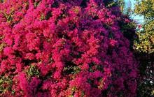 Phát sốt với cây hoa giấy khổng lồ hút khách du lịch ở Lý Sơn